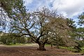 Quercus infectoria subsp. veneris, Akamas Paninsula, Cyprus.jpg