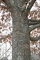 Quercus pagoda (23577872233).jpg
