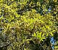 Quercus saltillensis 1.jpg