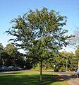 RN Ulmus parvifolia (Hilversum).JPG