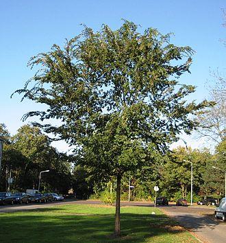 Ulmus parvifolia - Chinese elm, Hilversum