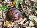 Rafflesia keithii (13891211304).jpg