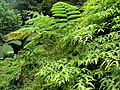 Rainforest ferns (Dominica).jpg