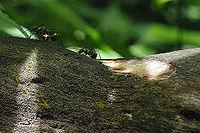 Ants in Sumatran Rainforest