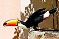Ramphastos toco -Montecasino Bird Gardens, Montecasino, Fourways, Johannesburg, South Africa-8a.jpg