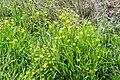 Ranunculus flammula in West Coast Region 03.jpg