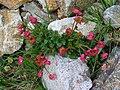 Ranunculus glacialis 02.JPG