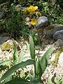 Ranunculus lingua 001.JPG