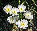 Ranunculus lyallii in Fiordland National Park 03.jpg