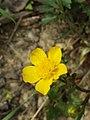 Ranunculus repens sl4.jpg
