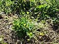 Ranunculus sardous subsp. sardous sl5.jpg