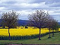 Rape field south of Canon Pyon - geograph.org.uk - 1287612.jpg