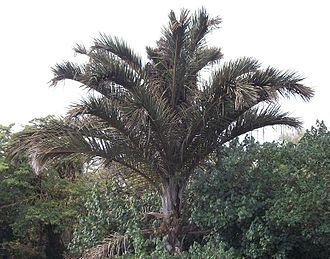 Raphia australis - Raphia australis