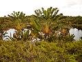 Ravenala Baum der Reisenden - panoramio.jpg