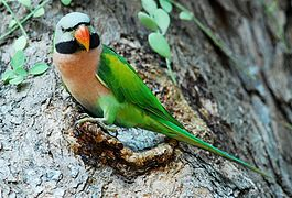 Red-breasted Parakeet.jpg