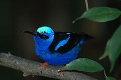 definition of honeycreeper
