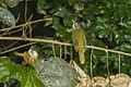 Red-tailed Greenbul from Canopy Walkway - Kakum NP - Ghana 14 S4E1441 (16177963596).jpg