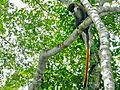 Red-tailed Monkey (Cercopithecus ascanius) (7076928961).jpg
