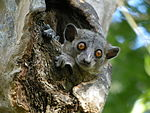 Red-tailed Sportive Lemur, Kirindy, Madagascar.jpg