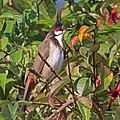 Red-whiskered bulbul (Pycnonotus jocosus fuscicaudatus).jpg