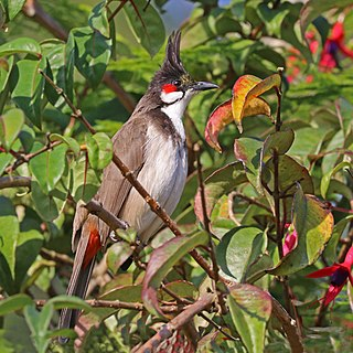 Red-whiskered bulbul species of bird