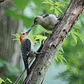 Red Bellied Woodpecker Feeding (5823516861).jpg