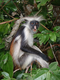 Red Colobus 2.jpg