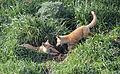 Red Fox Kits at Play (14464165073).jpg