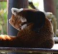 Red panda (Ailurus fulgens) - Colchester Zoo - Essex, England - 4 Sept. 2013.jpg
