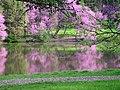 Redbud trees (Cercis canadensis) along Lake Marmo - Flickr - Jay Sturner (1).jpg