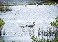 Reddish Egret and American Avocets (23528260003).jpg