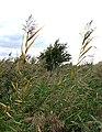 Reedbed, Aylesbury Arm - geograph.org.uk - 243193.jpg