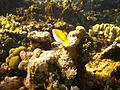 Reef2150 - Flickr - NOAA Photo Library.jpg
