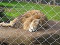 "Resident African Lion ""Zion"".JPG"