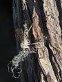 Rhagio ? (Diptera- Rhagionidae) and thread (11363403266).jpg