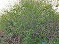 Rhamnus crenulata.jpg