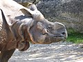Rhinoceros-unicornis-3.jpg