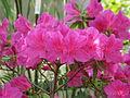 Rhododendron 'Yuriy Gagarin' 03.JPG