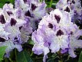 Rhododendron Blue Peter1b.UME.jpg
