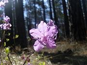 Rhododendron dauricum Transbaikal 3.jpg