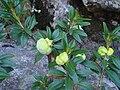 Rhododendron ferrugineum b.JPG