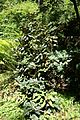 Rhododendron lacteum - UBC Botanical Garden - Vancouver, Canada - DSC07765.jpg