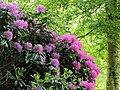 Rhododendron onder Betula.JPG
