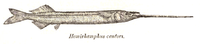 Rhynchorhamphus georgii Day.png