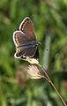 Ricia agestis Argws brown.jpg