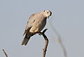 Ring-necked Dove (also known as Cape Turtle Dove), Streptopelia capicola, at Mapungubwe National Park, Limpopo, South Africa (18836955205).jpg