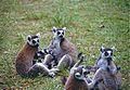 Ring-tailed Lemurs (Lemur catta) (9589391519).jpg