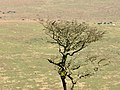 Ring Ouzel and Hawthorn on High House Waste, Dartmoor.jpg