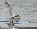 River Tern (Sterna aurantia) trying to catch up something W IMG 9704.jpg