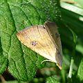 Rivula sericealis (Straw Dot) Noctuidae. - Flickr - gailhampshire.jpg